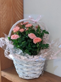 Miniature Rose in Gift Basket