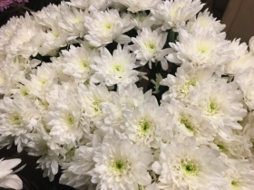 White Double Chrysanth Spray