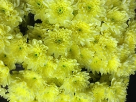 Yellow Double Chrysanth Spray